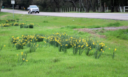 Daffodils on a Country Road By Jim Satterwhite